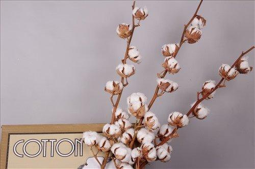 1 Zweig Baumwolle echte Baumwolle mit 8-10 Blüten - getrocknet 70 - 75cm - Dekoration - lange haltbar - Zweige - zum basteln oder als Geschenk