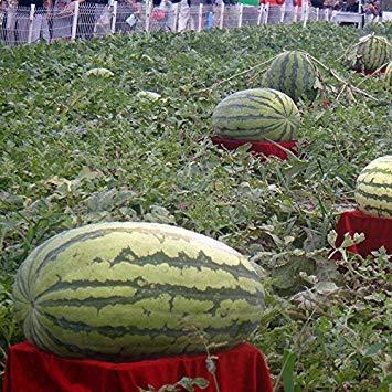 Visa Store Davitu 30 Stücke Riesige Wassermelone Samen Schwarz Tyrant König Super Süße Wassermelone Samen Garten Obst