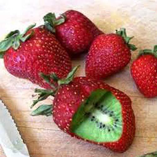 Yukio Samenhaus - Selten Kiwi Actinidia chinensis Samen Erdbeeren Form Obstsamen Winterharte Kletterpflanze Obst aus Neuseeland für die Freilandauspflanzung im Garten 50 Samen