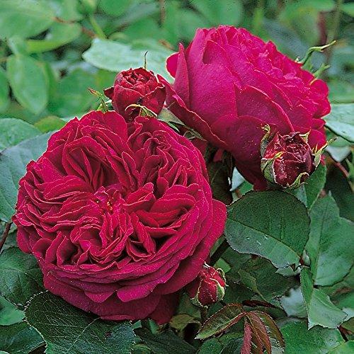 Kletterrose Falstaff in Dunkel-Rot - Kletter-Rose duftend Englische Rose - Pflanze für Rankhilfe im 5 Liter Container von Garten Schlüter - Pflanzen in Top Qualität