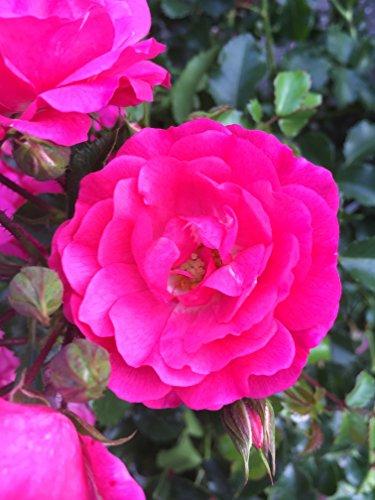 Bodendeckerrosen pink Bodendecker winterhart mehrjährig Bodendecker Rosen Rosa Noatraum reich blühende robuste Rose Sommerblüher 10x 1 Liter Topf