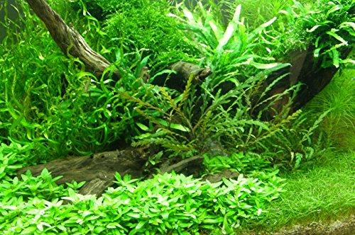 100 Wasserpflanzen  Dünger  Wasseraufbereiter 16 Bund