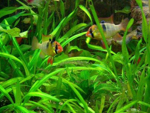 15 barschfeste Pflanzen  Dünger  Aufbereiter Aquariumpflanzen Wasserpflanzen