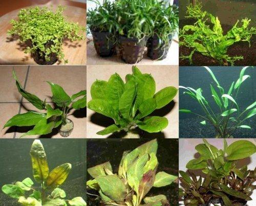40 Wasserpflanzen 5 Bunde und 5 Topfpflanzen