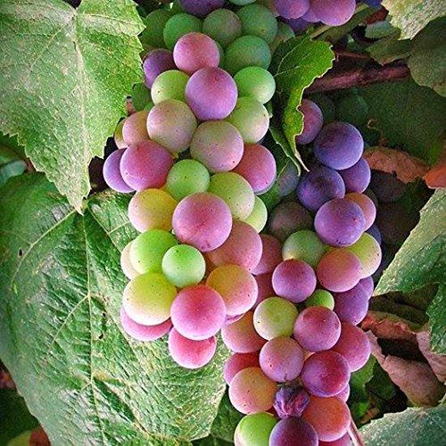 Kaimus Fruchtsamen Weinrebe Samen Regenbogen Trauben Samen Traubenkerne 30pcs Seltene Arten Bonsai Obst Samen für Hausgarten BepflanzungGelegentliche Lieferung