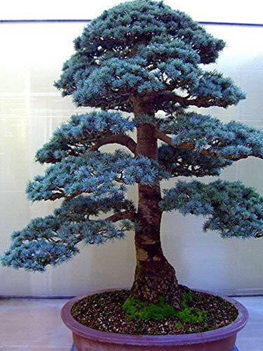 Shopmeeko 10 teilebeutel zeder arten von grünen bonsai baum Japanische zeder pflanze für hausgarten Gerade mehrjährige holzige pflanzen 6