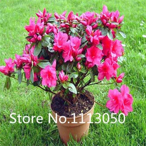 Verkauf 200pcs 10 Arten Bonsai Rhododendron simsii Seeds 100 echte Bio-Blooming-Blumensamen Gartenpflanze