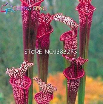 10pcs Lila Kannenpflanze Sarracenia purpurea Blumensamen Fleisch fressende Pflanze Blumen pflanzt Büro Mini-Pflanzen