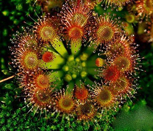 20 Hardy Sonnentau Seeds - Fleisch fressende Pflanze Drosera rotundifolia