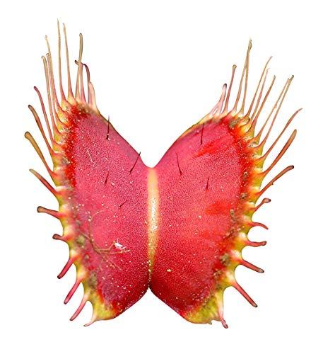 Venus-Fliegenfalle Dionaea muscipula 10 Samen Fleischfressende Pflanze