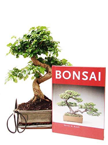Anfänger Bonsai-Set Liguster ca 30cm 4 teiliges Sparset 1 Liguster-Bonsai 1 Schere 1 Untersetzer 1 Bonsaibuch