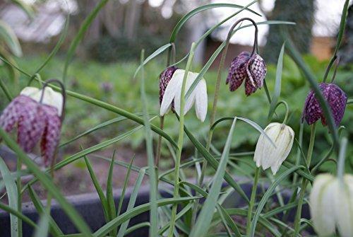 20 Samen Schachbrettblume Fritillaria Meleagris Kiebitzei Weiß Lila