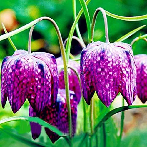 Go Garden 09 Fritillaria Meleagris Schlangenkopf Checker Lily Bulb Corm Herbst Garten OK `