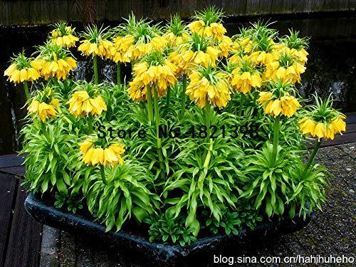 Go Garden Gemischter persischer Fritillary-Samen Fritillaria Meleagris-Mischungs-Samen einfach zu wachsen Hausgarten Bodendecker-Anlage 100 Teilebeutel Mix