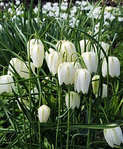 PLAT FIRM GERMINATIONSAMEN Weiße karierte Lilie 10 Birnen-Fritillaria meleagris Alba-Erbstück - 5 cm Zwiebeln