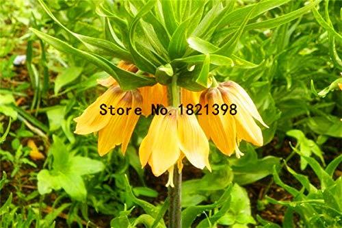PinkdoseMixed Persian Perlmutterfalter Seed Fritillaria meleagris Mischung Seed einfach wachsen Home Garten Bodendecker 100PCS  bag 6