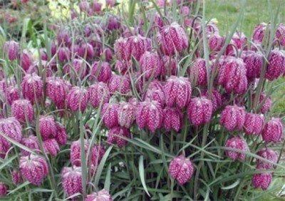 Schachbrettblume Fritillaria meleagris 25 Samen