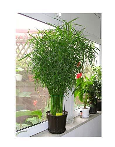 20x Cyperus alternifolius Wechselblättriges Zyperngras Samen 301