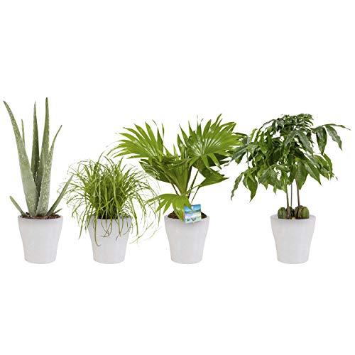BOTANICLY  Pflanze im Topf  Aloë Vera Castano Livistona Rotundifolia en Cyperus Alternifolius Zumula  25 cm  Set aus 4 Pflanzen  mit weißem Topf