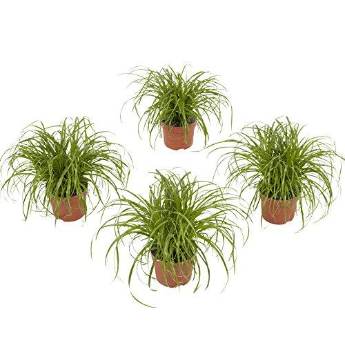 BOTANICLY  Zimmerpflanze  Cyperus Alternifolius Zumula  23 cm  Set aus 4 Pflanzen