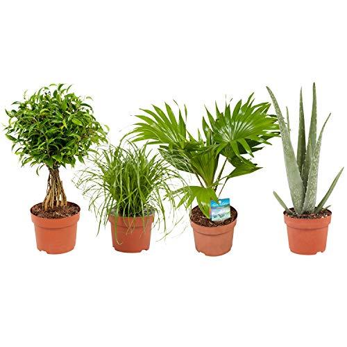 BOTANICLY  Zimmerpflanze  Cyperus Alternifolius Zumula Ficus Babilatos Aloë Vera Livistona Rotundifolia  23 cm  Set aus 4 Pflanzen