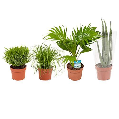 BOTANICLY  Zimmerpflanze  Cyperus Alternifolius Zumula Pogonatherum Monica Aloë Vera Livistona Rotundifolia  23 cm  Set aus 4 Pflanzen