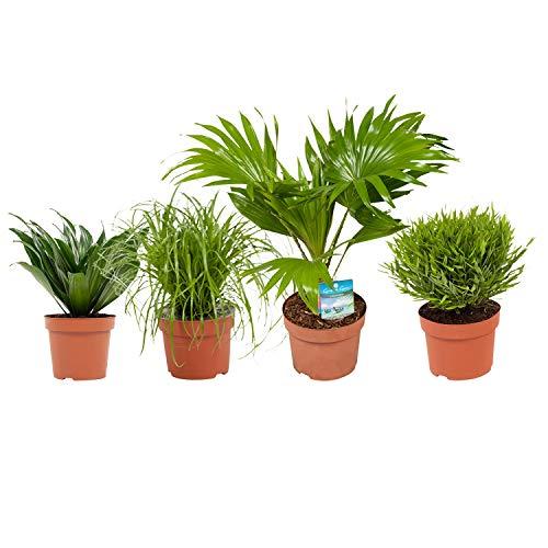 BOTANICLY  Zimmerpflanze  Cyperus Alternifolius Zumula Pogonatherum Monica Dracaena Compacta Livistona Rotundifolia  23 cm  Set aus 4 Pflanzen