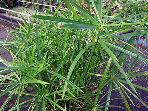 Portal Cool 7 cm Cyperus alternifolius Umbrella Palm - Marginal Teichpflanzen - Teichpflanzen - Wa