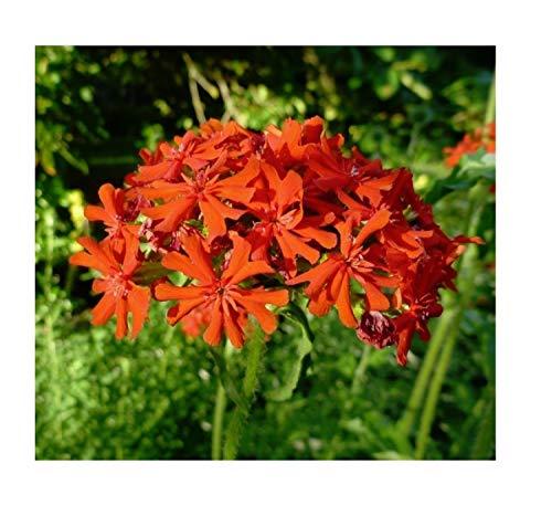 1x Lychnis chalcedonica Brennende Liebe-Pechnelken Pflanze Garten K-P18