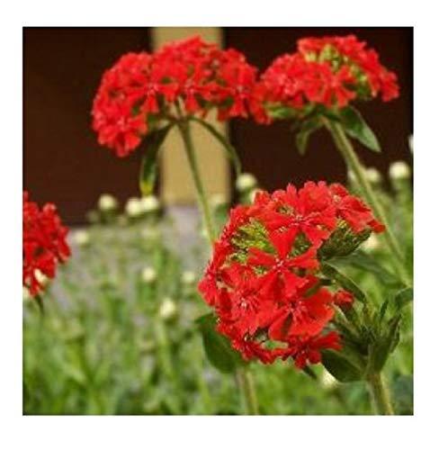 30x Brennende Liebe Scharlachrot Samen Pflanze Blume Garten 101