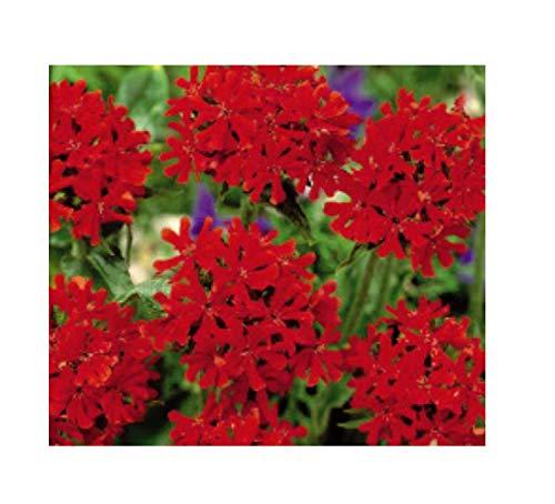 400x Scharlachlichtnelke-Brennende Liebe Samen Pflanze Blume Garten K314