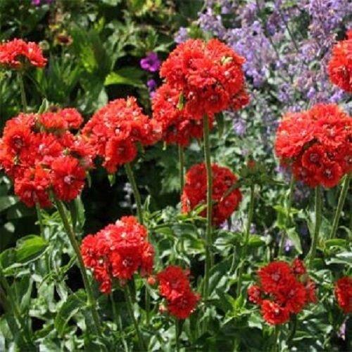 500 Samen von Brennende Liebe Jerusalem-Kreuz-Blumensamen