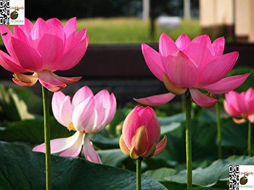 Bonsai Lotus  Wasser Lily Blume Bowl-Pond 5 Frische Samen  pinke Frau Lotus