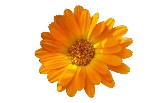 250 Samen Ringelblume -Calendula officinalis- -HeilpflanzeÖlgewinnungSalben-