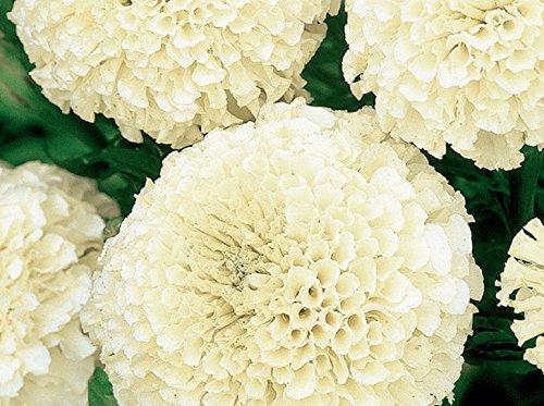 Cremig-weiße mexikanische Ringelblume - niedrig wachsende Sorte bis 35 cm Aztekische Ringelblume - samen