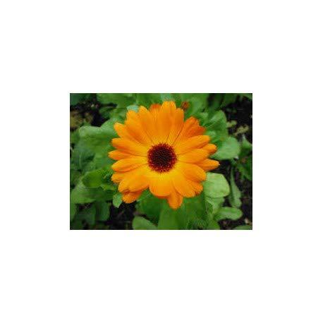 JustSeed - Blume - Ringelblume Calendula officinalis - Pacific Beauty Mix - 5000 Samen
