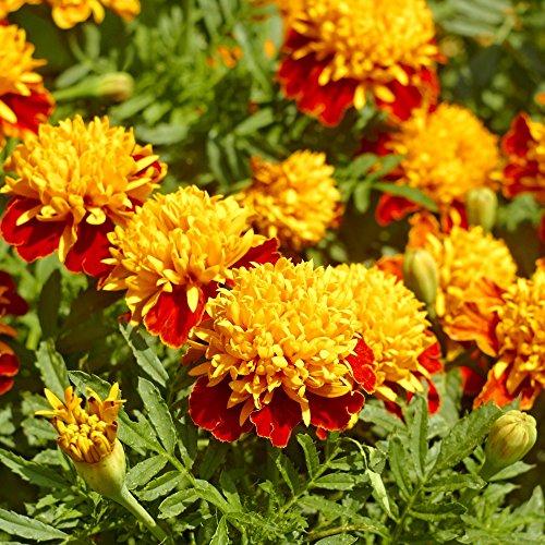 Ringelblume Orange Flame Samen - Tagetes Glockenblume Nana