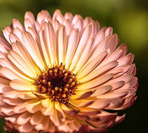 Ringelblume Pink Surprise Samen - Calendula officinalis