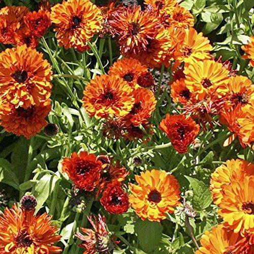 Ringelblumen Touch of red 50 Samen Calendula halbgefüllter Ringelblumen
