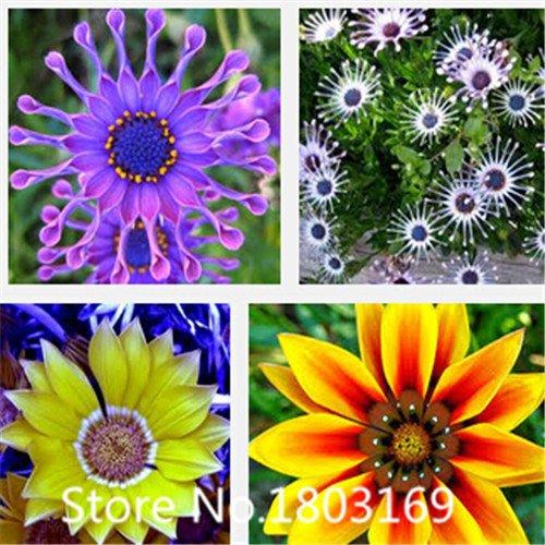 Transvaal-Gänseblümchen-Samen Südafrika Ringelblume mehrfarbige gemischte frei Blume seeds100 Partikel 6 Rare Mix Farben