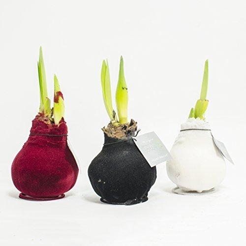 1 x Amaryllis XXL gewachst samt ROT ZimmerpflanzenZwiebeln besonders ausgefallene Geschenkidee Amaryllis Hippeastrum Dekoration für Wohnung und Büro blühende Pflanze
