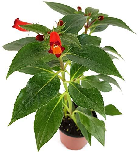 Fangblatt - Gloxinia sylvatica Seemannia - wundervolles Seemannsglöckchen mit atemberaubenden roten Blüten - pflegeleichte Zimmerpflanze