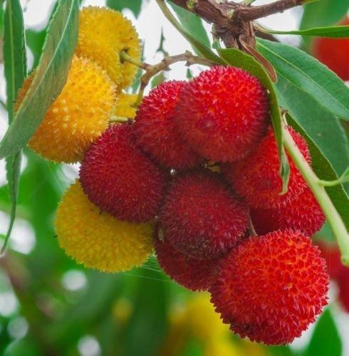 Erdbeerbaum Arbutus unedo exotische Früchte seltene Blüte madroño Samen 15 Samen