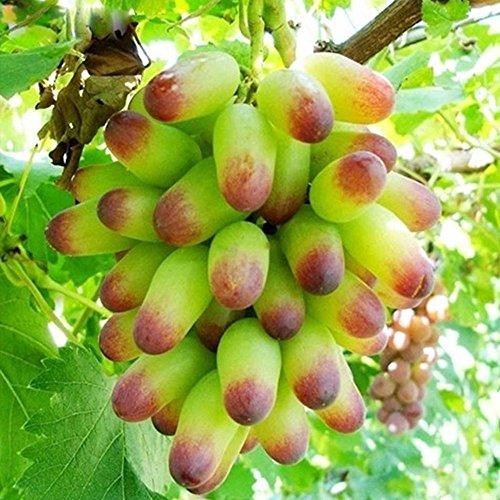 Gold Finger Traubenkerne Wein Vitis Samen Obst Samen Süße SELTENE 50 stückePack Orchard Senior Hof Pflanzen