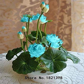 Lotus-Samen b Lotus Samen seltene Wasser Blume Pflanze Samen zum Anpflanzen Hausgarten - 5 Stück